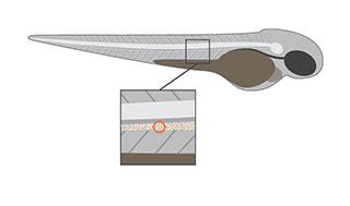 danioscope-flow-illustration